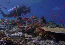 به دنبال مرجانها
